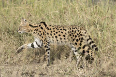 ,Serval cat Stock Images