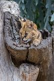 A serval cat climbing out of a tree trunk. An African serval cat climbing out of a tree trunk with tongue extended royalty free stock images