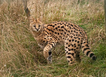 Serval cat disappearing into long grass. Serval cat turning back as she disappears into long grass stock photography