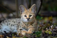 Serval cat Felis serval. Close young serval cat Felis serval royalty free stock photos