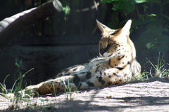 Serval cat Royalty Free Stock Photography