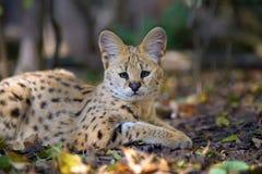 Serval cat Felis serval. Close young serval cat Felis serval stock photos