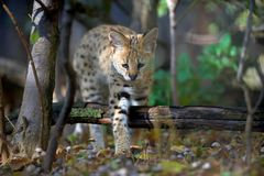 Serval cat Felis serval. Close young serval cat Felis serval stock photography