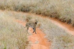 Serval cat (Felis serval) Royalty Free Stock Photo