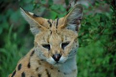 Serval. A serval cat focuses attentively with its eyes and ears Stock Photography