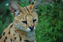 A serval cat Royalty Free Stock Image