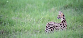 Serval cat in the grassland of the savannah in Kenya. A serval cat in the grassland of the savannah in Kenya royalty free stock image