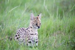 Serval cat in the grassland of the savannah in Kenya. A serval cat in the grassland of the savannah in Kenya royalty free stock photo