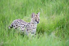 Serval cat in the grassland of the savannah in Kenya. A serval cat in the grassland of the savannah in Kenya royalty free stock images