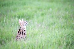Serval cat in the grassland of the savannah in Kenya. A serval cat in the grassland of the savannah in Kenya royalty free stock photography