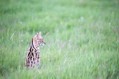 Serval cat in the grassland of the savannah in Kenya. A serval cat in the grassland of the savannah in Kenya royalty free stock photos