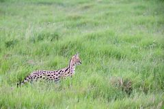 Serval cat in the grassland of the savannah in Kenya. A serval cat in the grassland of the savannah in Kenya stock images