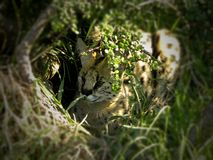 Serval cat hiding in the grass. A close-up view of a Serval cat hiding in the grass stock image