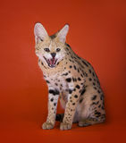Serval cat isolated on orange background Royalty Free Stock Photos