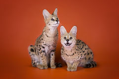 Serval cat isolated on orange background Stock Images