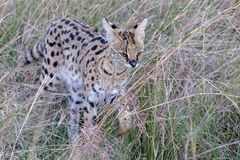 Serval Cat, Kenya, Africa. A serval cat in Kenya, Africa, walking through the grasslands with copy space stock photography