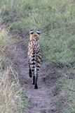 Serval Cat, Kenya, Africa. A serval cat in Kenya, Africa, walking away down a track stock image