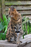 Serval cat. Latin name Felis serval royalty free stock photos