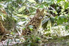 Serval cat Royalty Free Stock Image