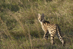 Serval cat. In the Masai Mara , Africa royalty free stock photo