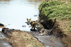 A serval cat. Near a river inside the ngorongoro national park in tanzania royalty free stock image