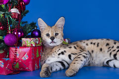 Serval cat next to a Christmas tree and gifts on blue background Royalty Free Stock Photos