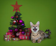 Serval cat next to a Christmas tree and gifts on a green backgro Royalty Free Stock Images
