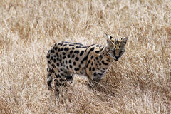 Serval cat. A serval cat in the ngorongoro national park in tanzania royalty free stock photo