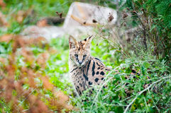 Serval cat. Pretty serval cat hidding in veggetation royalty free stock photography