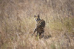 Serval Cat. On a rare hunt in the day time Royalty Free Stock Image