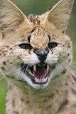 Serval cat snarling Royalty Free Stock Photos