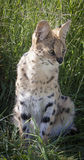 Serval cat. In South-Africa at summer time royalty free stock image