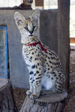 Serval cat. In South-Africa at summer time royalty free stock images