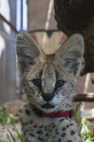 Serval cat. In South-Africa at summer time stock image