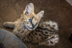 Serval cat. In South-Africa at summer time stock photography