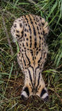 Serval cat. In South-Africa at summer time royalty free stock photo