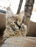 Serval cat. In South-Africa at summer time stock photos