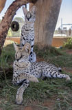 Serval cat. In South-Africa at summer time stock images