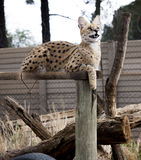 Serval cat. In South-Africa at summer time royalty free stock photos