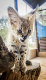Serval cat. In South-Africa at summer time stock photo