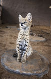 Serval  cat Stock Photography