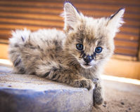 Serval cat Royalty Free Stock Photo