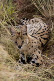 Serval cat Stock Image