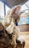 Serval cat Stock Photos