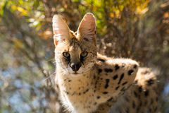 Serval cat in the tree royalty free stock photo