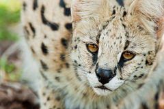 Serval cat in wild South Africa. A portrait of a Serval cat in the wild in South Africa royalty free stock photo