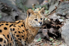 Serval cat & x28;Felis serval& x29; Royalty Free Stock Images