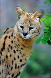 Serval cat (Felis serval) Royalty Free Stock Images