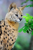 Serval cat (Felis serval) Royalty Free Stock Photo