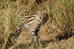 Serval cat (Felis serval) Stock Photography